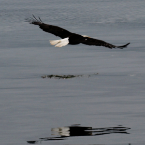 Eagle Gliding Over Water