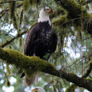 Eagle Couple Sitting in Tree