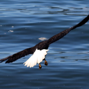 Eagle Slips Into the Water