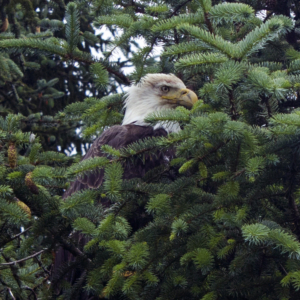 Bloodied Eagle in Tree