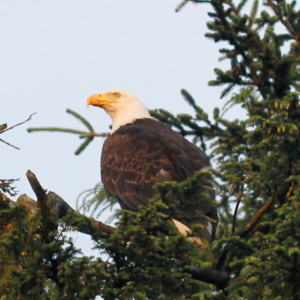 Eagle Crouched in Tree