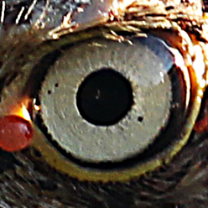 Eye of the Injured Eagle
