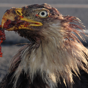 Portrait of the Injured Eagle