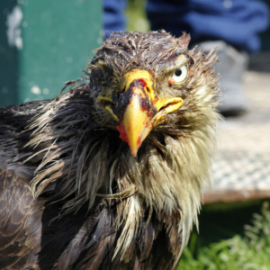 Injured Eagle at Fish Cleaning Station